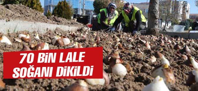 Gölbaşı'nda 70 bin lale soğanı dikildi