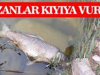 Mogan Gölü'nde sazanlar kıyıya vurdu